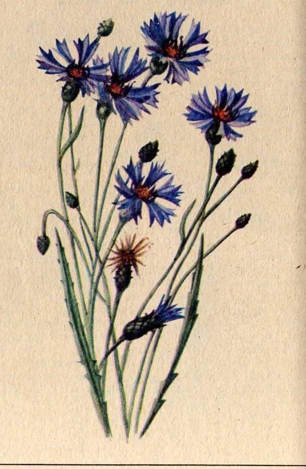 какие растения вызывают аллергию на коже